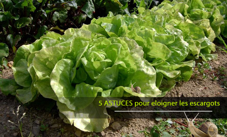 5 Astuces pour éloigner les escargots et les limaces de votre potager