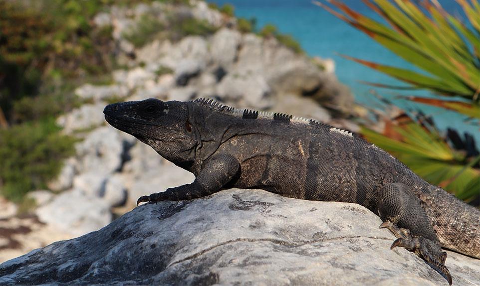 Iguane Mexique Yucatán