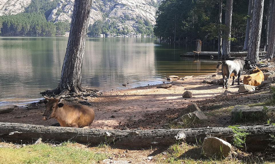 le lac de l'Ospédale vache et cochons